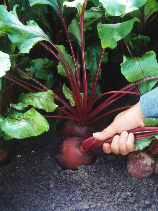 Выращивание свёклы