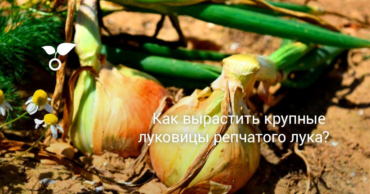 Как получить большой урожай лука