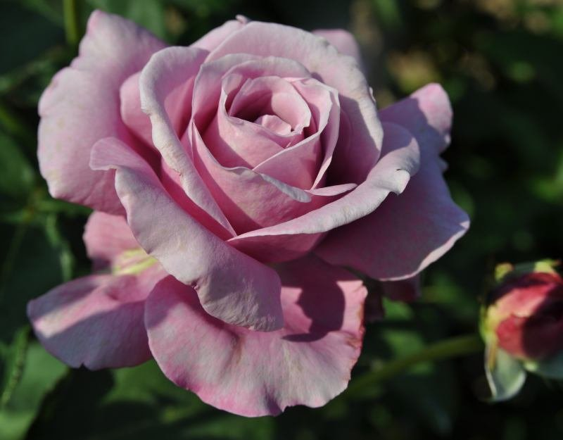 rosa-charles-de-gaulle-1