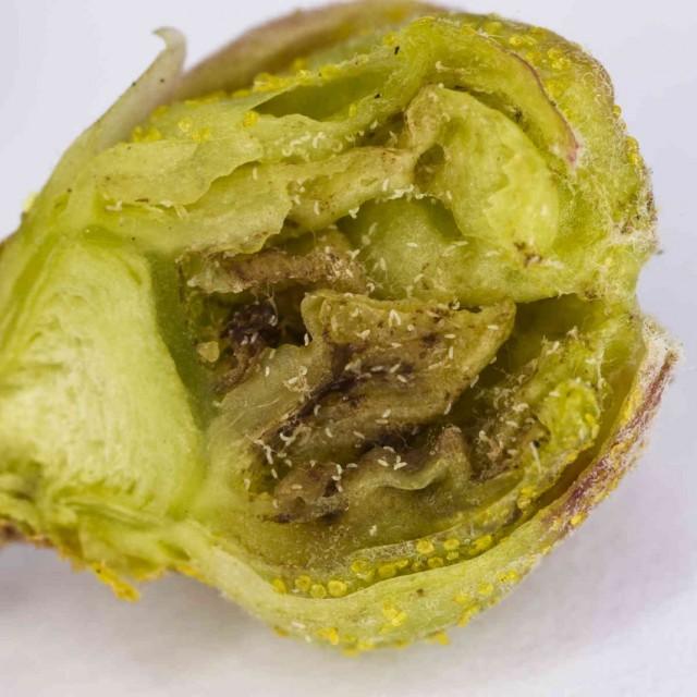 Почка смородины, пораженная почковым смородинным клещом, в разрезе