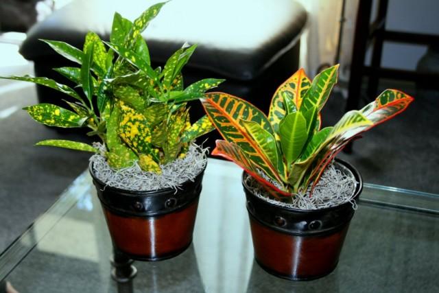 Кодиеумы пёстрые «Голд Стар» и «Петра» (Codiaeum variegatum 'Gold Star' & 'Petra')
