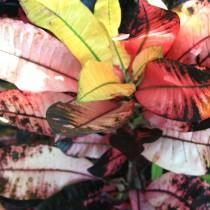 Кодиеум пёстрый «Миссис Айстон» (Codiaeum variegatum 'Mrs. Iceton')
