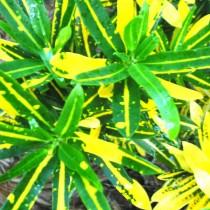 Кодиеум пёстрый «Санни Стар» (Codiaeum variegatum 'Sunny Star')