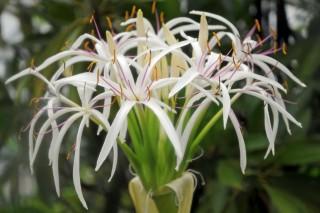 Кринум азиатский (Crinum asiaticum)