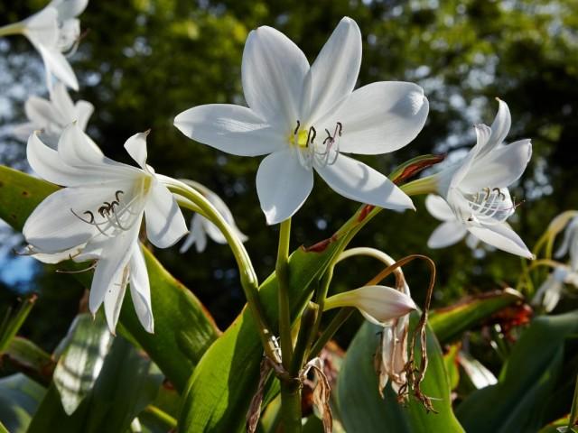 Кринум Мура (Crinum moorei)