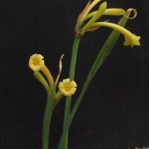 Циртантус желто-белый (Cyrtanthus ochroleucus)