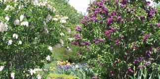 Сирень, посаженная вдоль садовой дорожки