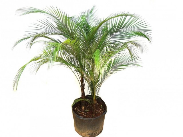 Литокариум Ведделя, или Кокос Ведделя (Lytocaryum weddellianum)