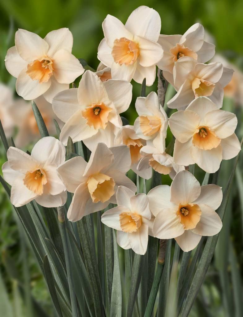 Narcissus-Prosecco-2