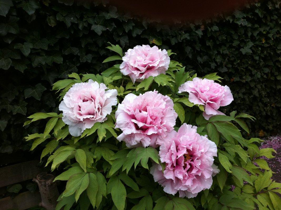 Paeonia-suffruticosa-Yin-Hong-Qiao-Dui-3