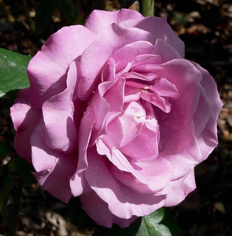 Rosa-Royal-Amethyst-1