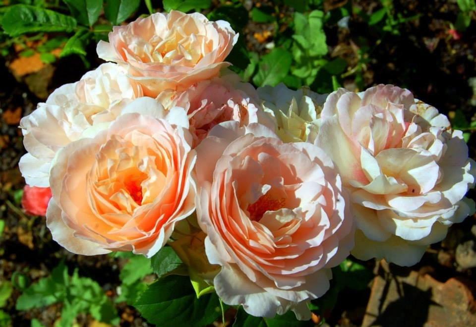 Rose-Caramella-1