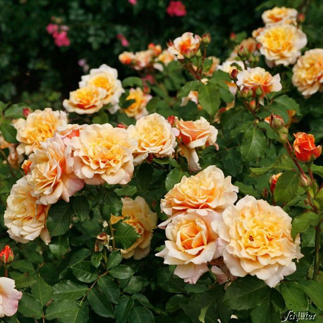 Rose-Caramella-2