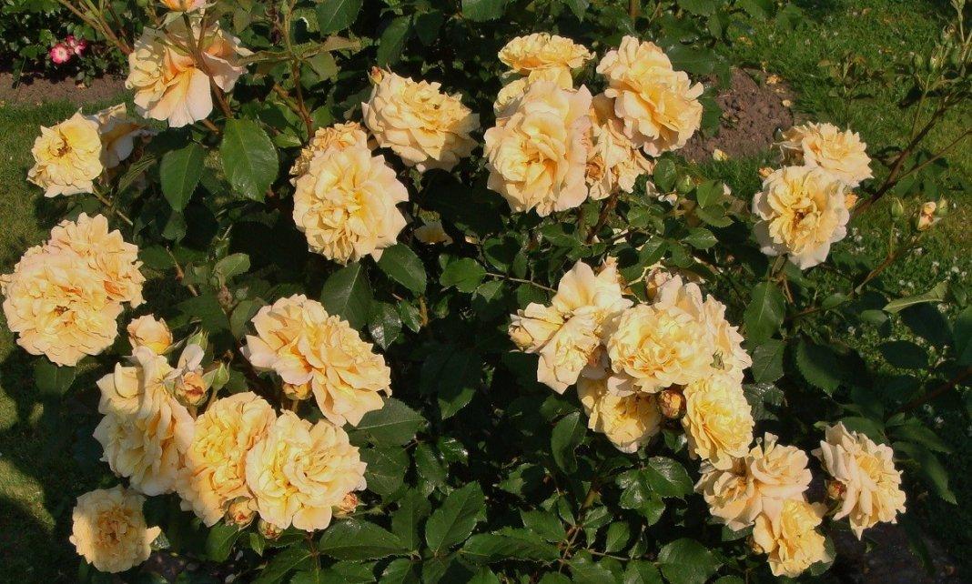 Rose-Caramella-3