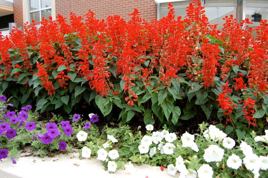 Садовый цветок сальвия фото цветов