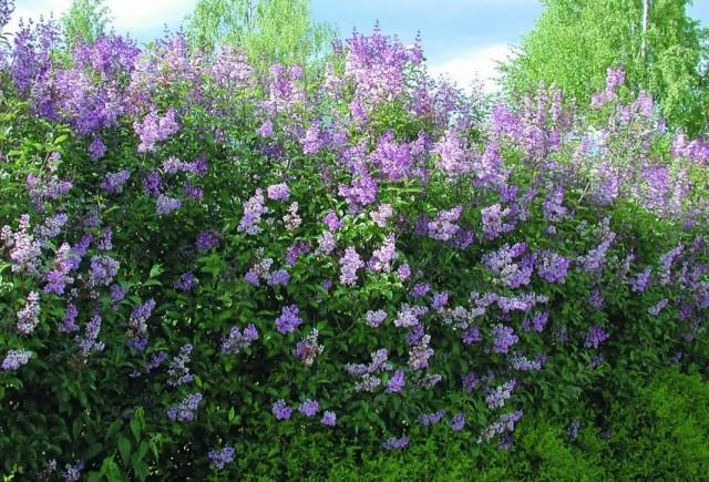 Сирень венгерская (Syringa josikaea)