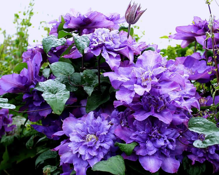 Clematis-Vyvyan-Pennell-1