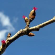 Женские цветочные почки лещины