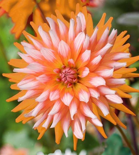 Dahlia-Orange-Turmoil-1
