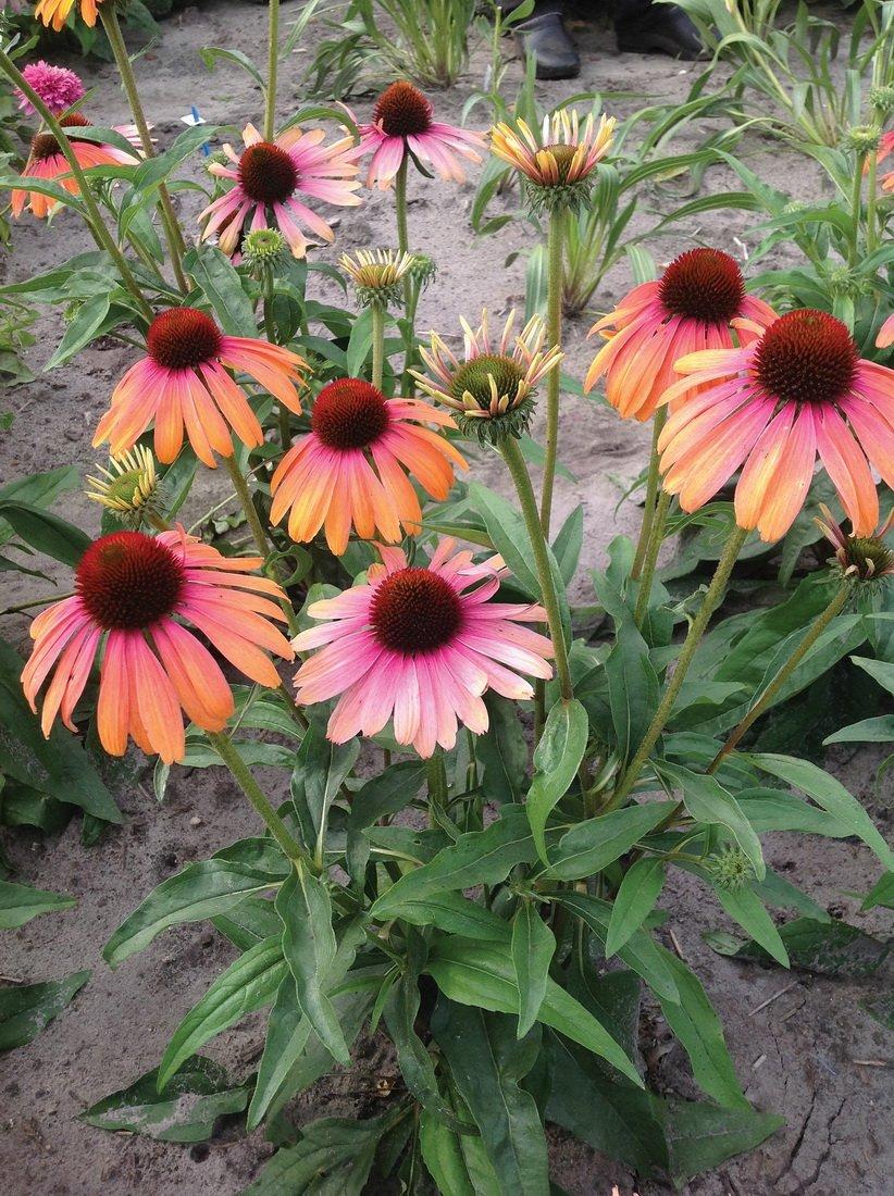 Echinacea-purpurea-Rainbow-Marcella-3