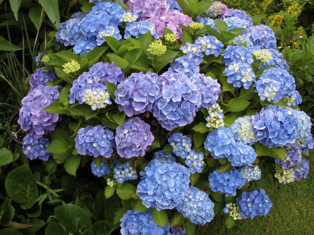 цветы на букву г садовые фото стена
