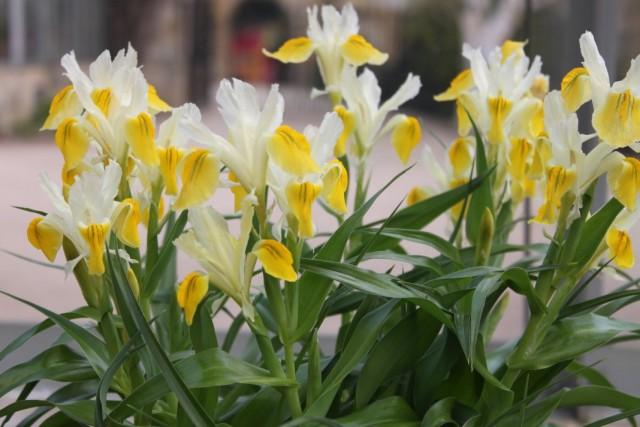 Ирис бухарский (Iris bucharica) или Юнона бухарская (Juno bucharica)