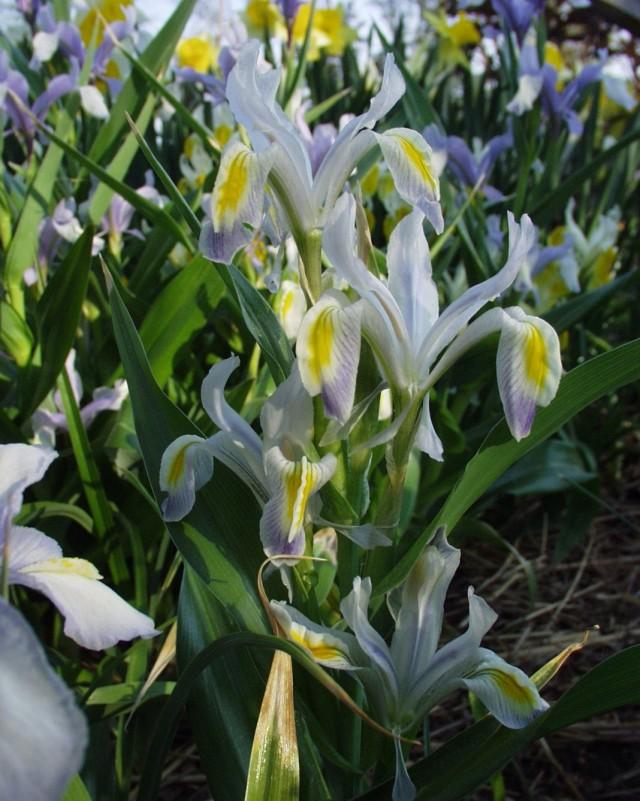 Ирис замещающий (Iris vicaria) или Юнона замещающая (Juno vicaria)