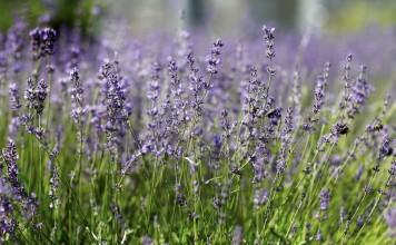 Лаванда во время цветения