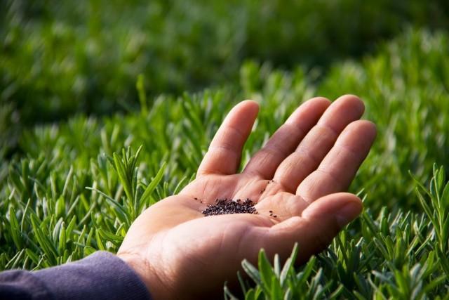Семена лаванды