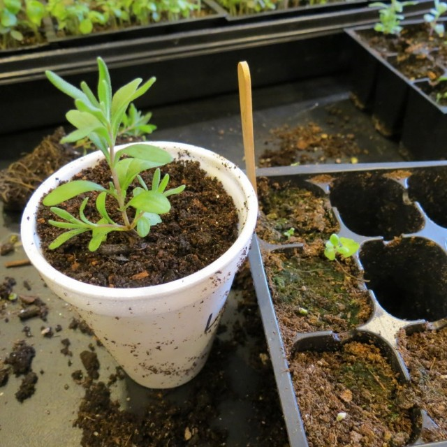 Пересаженный сеянец лаванды, выращенный из семян