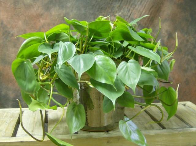 Филодендрон плющевидный (Philodendron hederaceum)