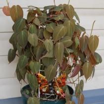 Филодендрон лазящий, или Филодендрон цепляющийся (Philodendron hederaceum var. hederaceum)