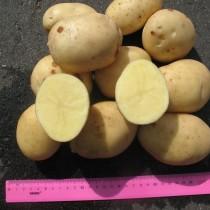Сорт картофеля для Центрального региона - Альбатрос