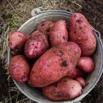 Сорт картофеля для Волго-Вятского региона - Алёна