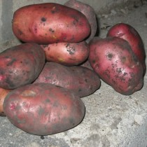 Сорт картофеля для Волго-Вятского региона - Амур