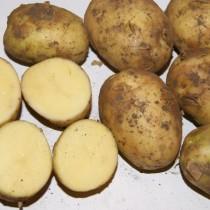 Сорт картофеля для Волго-Вятского региона - Артемис