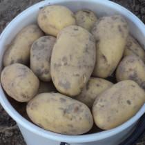 Сорт картофеля для Нижневолжского региона - Чароит
