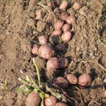 Сорт картофеля для Северного региона - Глория