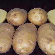 Сорт картофеля для Центрально-Черноземного региона - Великан