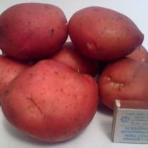 Сорт картофеля для Северного региона - Виза
