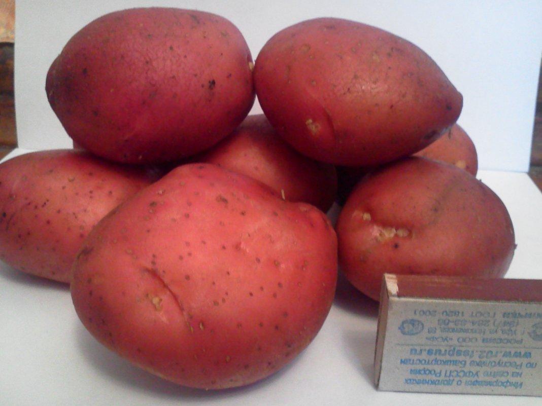 севилью приехали красный картофель сорт фото дерева это