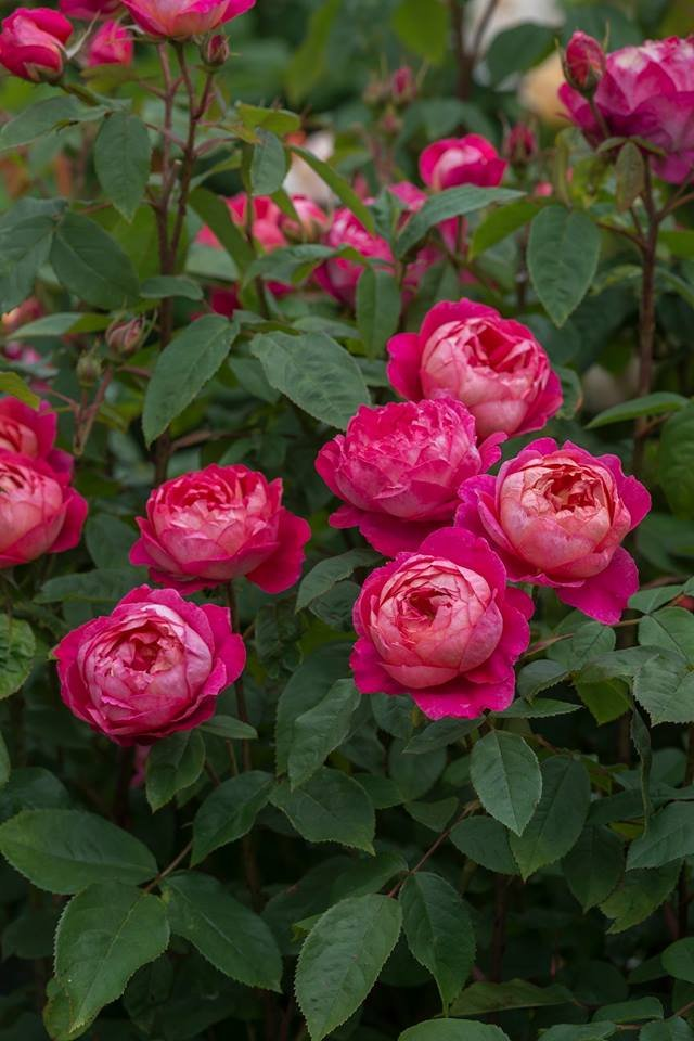 Rosa-Benjamin-Britten-2