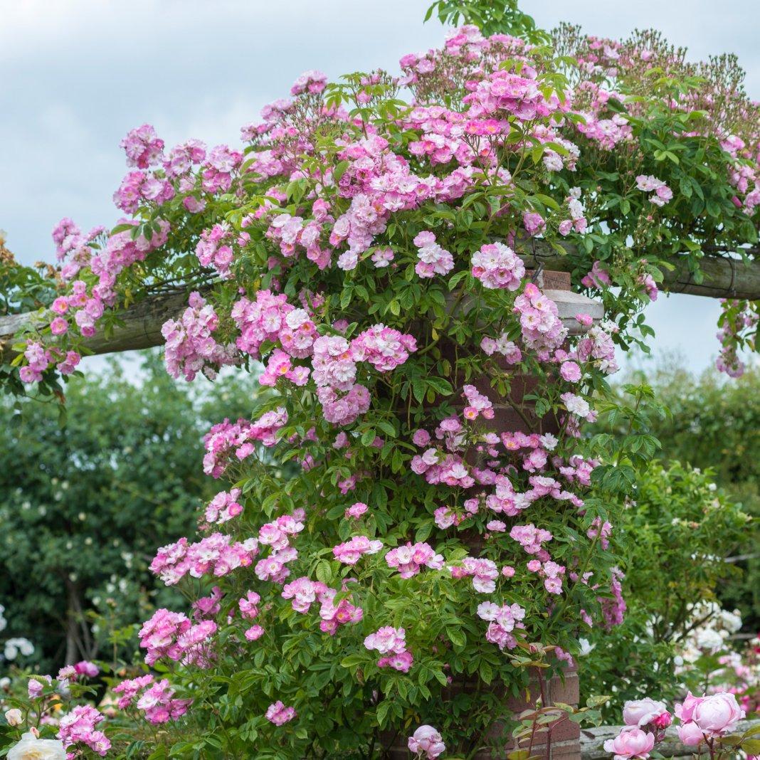 наличии роза рамблер розового цвета фото лучше