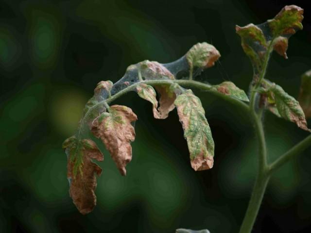 Скручивание листьев томата из-за паутинного клеща