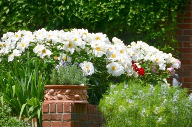 Белые пионы, как яркий акцент в дизайне сада