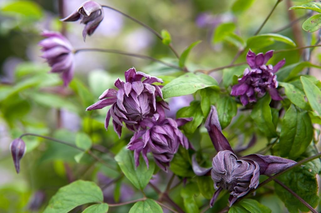 Clematis-Mary-Rose-2