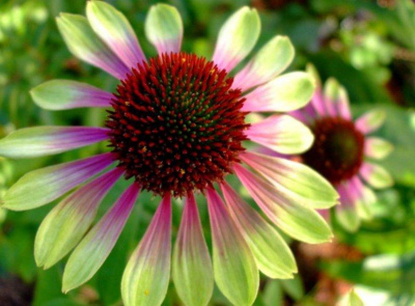 Echinacea-purpurea-Green-Envy-1
