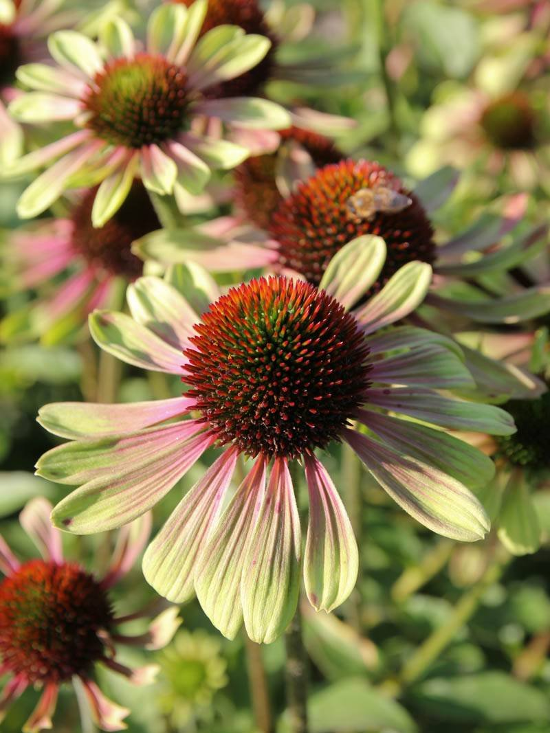 Echinacea-purpurea-Green-Envy-2