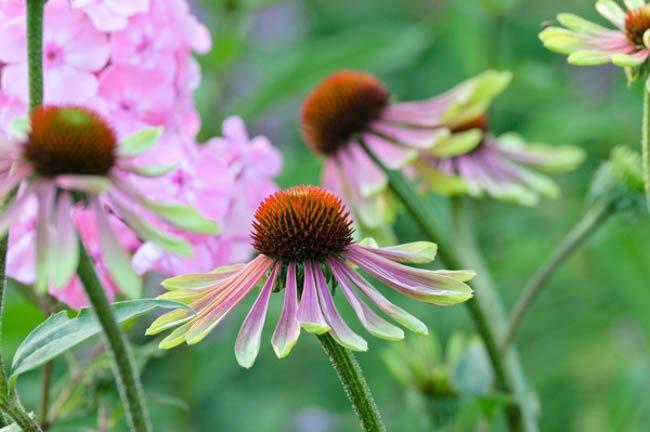 Echinacea-purpurea-Green-Envy-3