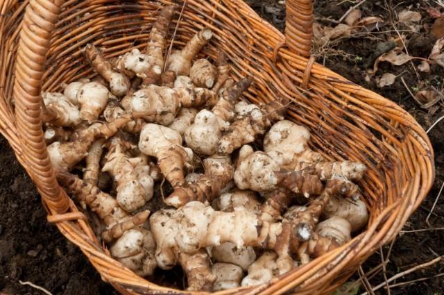 Сбор урожая клубней топинамбура